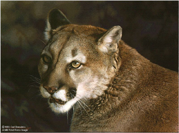 Reproductions of Carl Brenders Paintings Close up Cougar